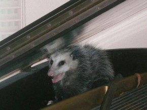 RT @PianistTweet: An opossum in your #piano ? What's more American than that?! Have a great weekend ...