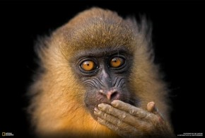 RT Nat Geo Photography @NatGeoPhotos: Happy #ChineseNewYear! Celebrate the year of the monkey with t...